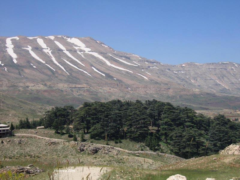 Cedars Of Lebanon ~ New york california and lebanon ebisu publications